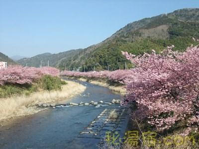 静岡県河津町 満開の河津桜2013