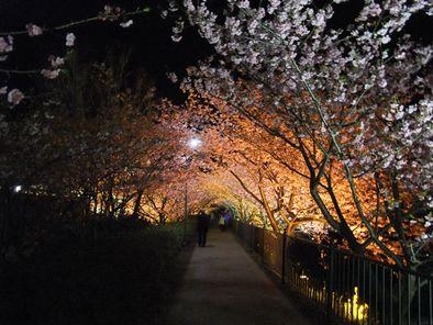 満開の河津桜ライトアップ2013