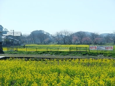 南伊豆 河津桜2013 道の駅 下賀茂温泉 湯の花