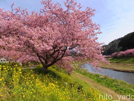 南伊豆の河津桜2015-18