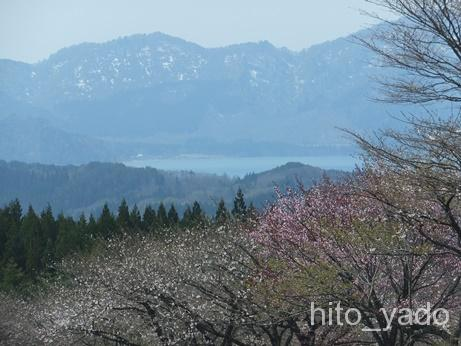 鶴の湯 桜並木8